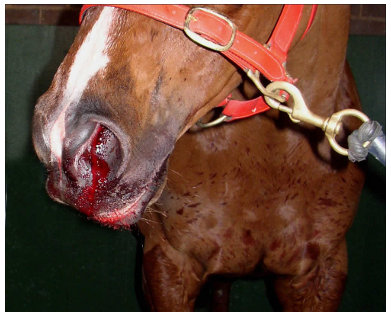 WHAT CAUSES NOSE BLEEDS IN HORSES? - Horse Answers Today